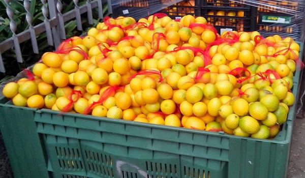 mandarine velika.jpg